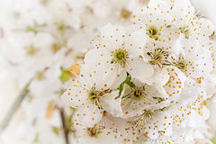 White flowers of the wild plum, early spring background Stock Photo