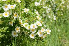 White flowers of wild rose