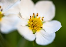 White flowers of the wild strawberry Fragaria vesca Stock Photography