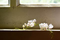 The White Flowers on the Window frame royalty free stock image