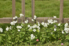 White flowers and wood fence Stock Image