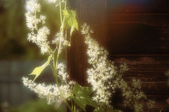 White flowers on the wood wall background. White flowers on the wood wall, bright spring day Royalty Free Stock Image