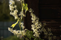 White flowers on the wood wall. In the countryside Royalty Free Stock Images
