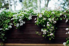White flowers on a wooden fence. White flowers hanging from a wooden brown flowerbed in the garden Royalty Free Stock Photos