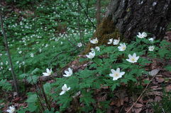 White Flowers in the Woods. Small white flowers stand on the forest floor stock photo