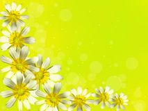 White flowers on a yellow background. Royalty Free Stock Photography