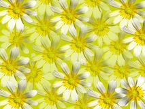 White flowers on a yellow background. Stock Photography