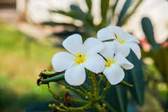 White flowers with a yellow center.Plumeria. Royalty Free Stock Image