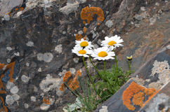 White flowers with yellow center on the rocks. Pyrethrum pyrethroides blooms on a rock covered with lichenin the Tien Shan, Kyrgyzstan Stock Image
