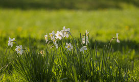 White flowers with yellow core Royalty Free Stock Images