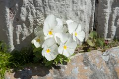 White flowers among the rocks stock images