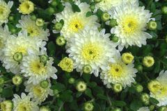 White flowers. White and yellow flowers and green leafs Royalty Free Stock Photography