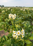 White flowers with yellow stamens of potato plants Stock Images