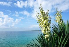 White flowers of Yucca gloriosa in front of the beautiful turquoise sea lagoon stock photography