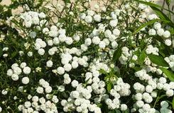 White flowerses Gypsophila in garden stock image