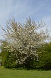 Central white exploding tree Royalty Free Stock Photo