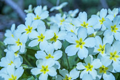 White flowres with a yellow center Stock Photography