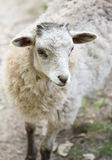 White fluffy baby sheep close up portrait. White cute fluffy baby sheep close up portrait Stock Image