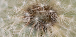 White fluffy blowball Royalty Free Stock Images