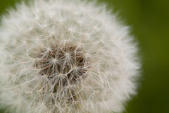 White fluffy blowball Royalty Free Stock Photo