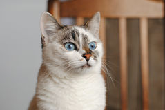 White fluffy blue-eyed cat. Close portrait. The back of a wooden chair in the background Royalty Free Stock Images