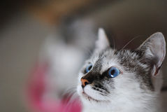 White fluffy blue-eyed cat. Close portrait. Free space for text or design Stock Photography
