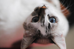 White fluffy blue-eyed cat. Close upside down portrait. White fluffy blue-eyed cat. Close portrait upside down Stock Photography