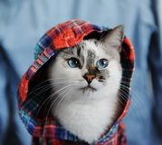 White fluffy blue-eyed cat dressed in checkered shirt with a hood. Close portrait on denim background. Fashion look. White fluffy blue-eyed cat dressed in royalty free stock photo