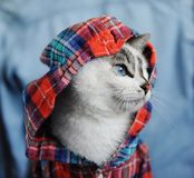 White fluffy blue-eyed cat dressed in checkered shirt with a hood. Close profile portrait on denim background. Fashion. White fluffy blue-eyed cat dressed in stock photo