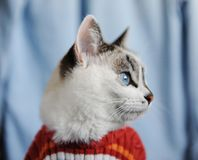 White fluffy blue-eyed cat dressed in striped orange sweater. Close profile portrait on single denim background. Fashion. White fluffy blue-eyed cat dressed in stock photo