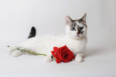 White fluffy blue-eyed cat lying on light background and holding a red rose in arms Stock Photo