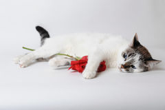 White fluffy blue-eyed cat lying on light background and holding a red rose in arms Royalty Free Stock Image