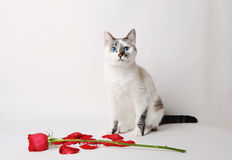 White fluffy blue-eyed cat sitting on a white background in a graceful pose next to a red rose and petals Royalty Free Stock Photography