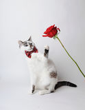 White fluffy blue-eyed cat in a stylish bow tie on a light background with a red rose. Red silk bow tie with a pattern Royalty Free Stock Photography