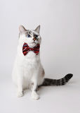 White fluffy blue-eyed cat in a stylish bow tie on a light background. Red silk bow tie with a pattern Royalty Free Stock Photo
