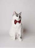 White fluffy blue-eyed cat in a stylish bow tie on a light background. Red silk bow tie with a pattern Stock Images