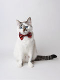 White fluffy blue-eyed cat in a stylish bow tie on a light background. Red silk bow tie with a pattern Royalty Free Stock Photography