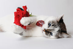 White fluffy blue-eyed cat in a stylish bow tie lying and holding a red rose in arms. Silk red bow tie with a pattern Stock Images