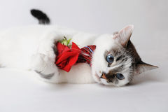 White fluffy blue-eyed cat in a stylish bow tie lying and holding a red rose in arms. Silk red bow tie with a pattern Royalty Free Stock Image