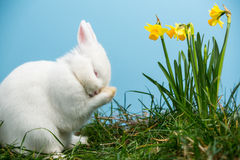 White fluffy bunny scratching its nose beside daffodils Stock Photos