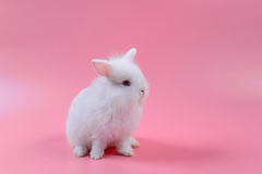 White fluffy bunny sit on pink background, Cute rabbit. Stock Image