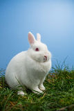 White fluffy bunny sitting on grass Stock Image