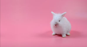 White fluffy bunny sitting on pink background, little white rabbit and copy space Royalty Free Stock Photos