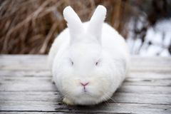 White fluffy bunny on a wooden background Stock Images
