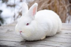 White fluffy bunny on a wooden background Stock Image