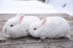 White fluffy bunny on a wooden background Royalty Free Stock Photo