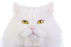 White fluffy cat Stock Photo