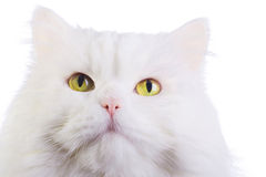 White fluffy cat Royalty Free Stock Photography