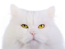 White fluffy cat Stock Image