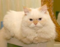 White, Fluffy Cat. Sitting on a counter,watching activity in the house Stock Photo